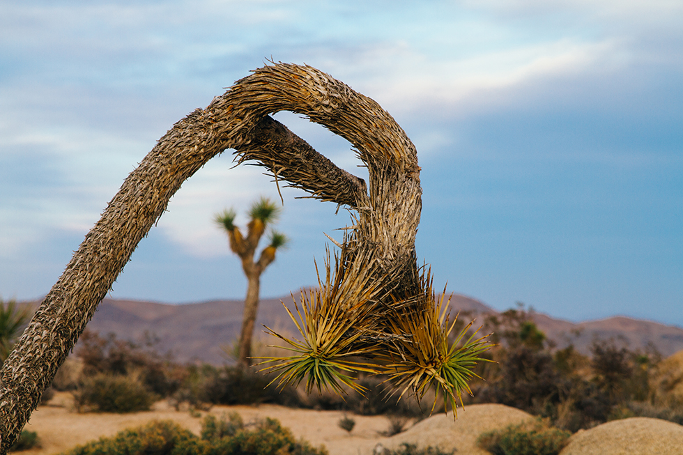 Joshua-Tree-National-Park-Sunset-Framed-Sad-Droopy-16