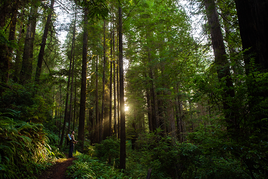 redwood national forest with sunshine